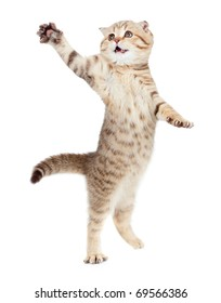 jumping kitten or cat  striped Scottish fold isolated studio shot