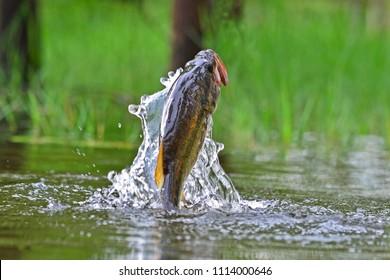 Jumping large mouth bass, Pine log forest, Panama City Beach, Florida