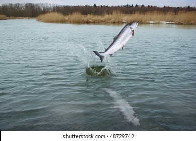 jumping out from water on river background salmo