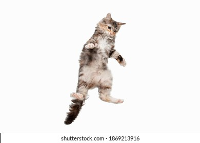 Jumping. Playfull multicolor kitty of Siberian cat isolated on white studio background. Studio photoshot. Concept of motion, action, pets love, animal grace. Looks happy, delighted, funny. Copyspace.