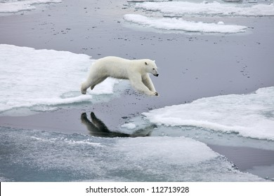 Jumping polar bear