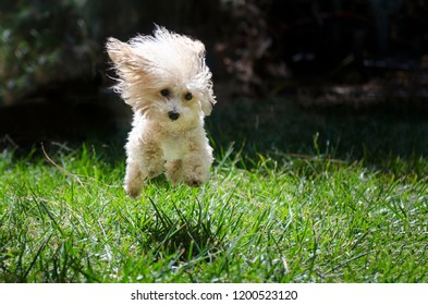 Jumping poodle puppy on the grass on a Summer day