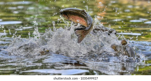 Jumping rainbow trout in Michigan