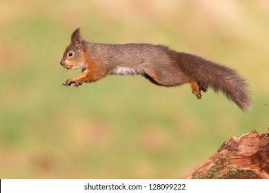 Jumping Red Squirrel