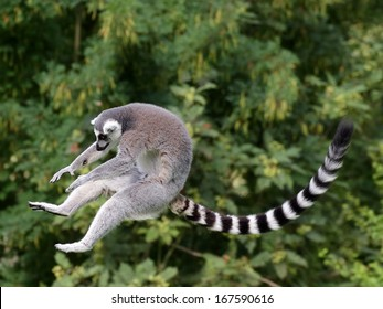 Jumping ring-tailed lemur in the air on the green background