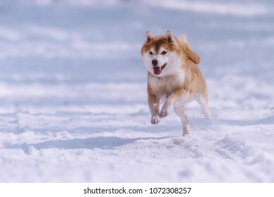 jumping shiba inu dog in the snow