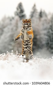 jumping Siberian tiger in the snow