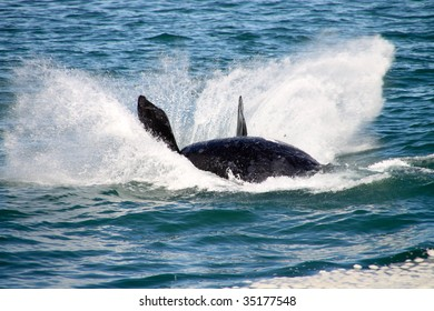 Jumping southern right whale