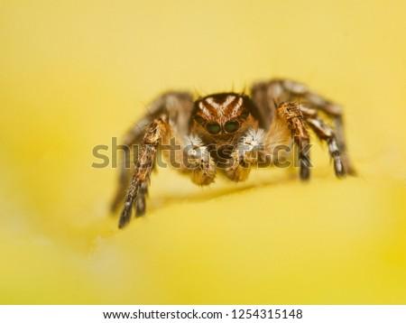 jumping-spider-aelurillus-vinsignitus-on