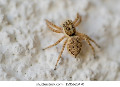 jumping spider closeup, family of  Salticidae