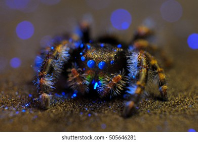 Jumping spider fluorescing under ultraviolet light.  Photographed in Virginia, USA.