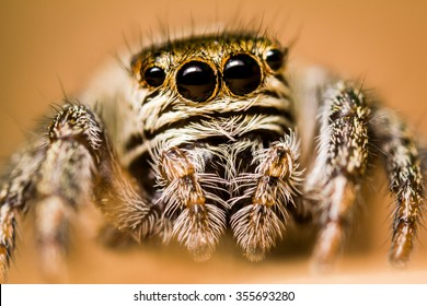 Jumping spider high magnification  macro