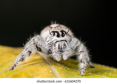 jumping spider Hyllus on a yellow leaf, extreme close up, Spider in Thailand