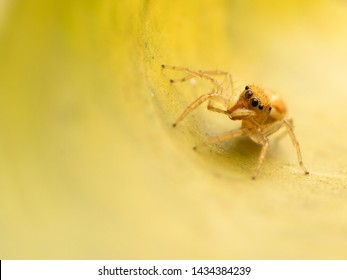 A Jumping Spider inside a tunnel of leaf. A Spider on a Yellow Leaf. Hyllus diardi. Salticidae. Close-up of a jump Spider.