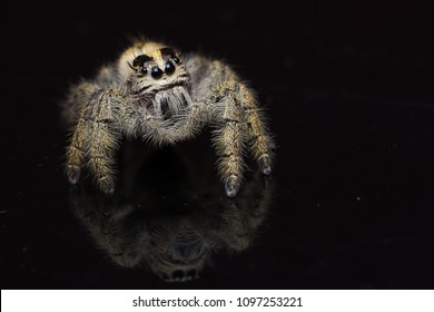 Jumping spider with isolated background