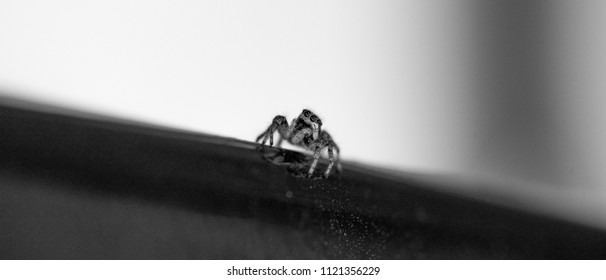 Jumping Spider looking up