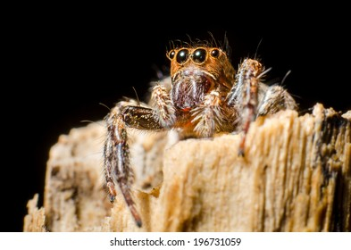 Jumping spider looking the sky on wood top with black background