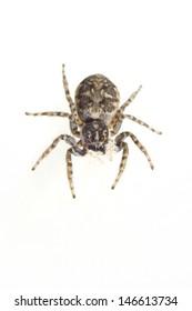 Jumping spider (Menemerus semilimbatus)