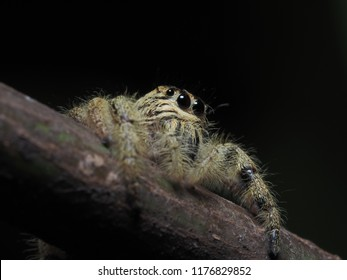 Jumping Spider in Nature, Thailand