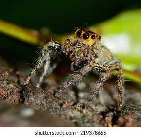 Jumping Spider on bark