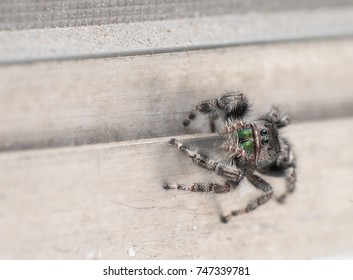 Jumping Spider on a Bathroom Window, Macro View