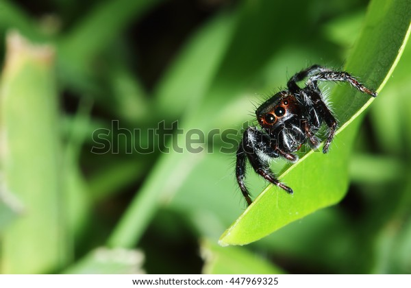 Jumping spider  on the grass leaves