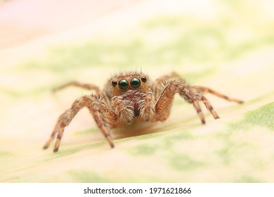 Jumping spider on green leaf in the garden. Hyus spider on flowers with green background.