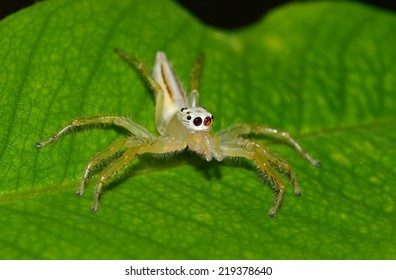 Jumping Spider on green leaf