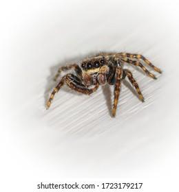 Jumping spider on light grey background. Macro closeup.