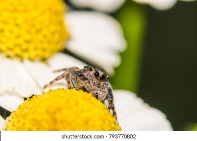 Jumping Spider on Yellow Flower