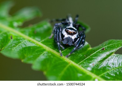 Jumping Spider (Phiale formosa) in Costa Rica