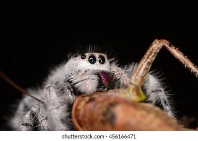 jumping spider Phidippus regius from Antillean islands
