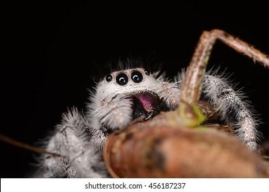 jumping spider (Phidippus regius) from Antillean islands