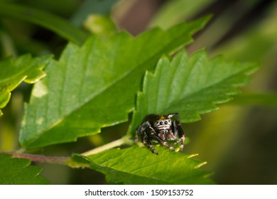 Jumping spider, of the Salticidae family