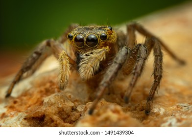 Jumping spider, Salticidae, a family of Araneae, is commonly known as Jumping spider. Most of them do not exceed 15mm in length. It is named for its short, thick and slightly flat body,