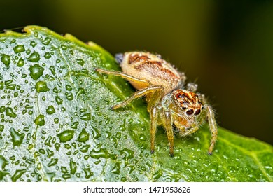 Jumping Spider Salticidae - Macro photo of jumping spider on a leaf with drops of water.