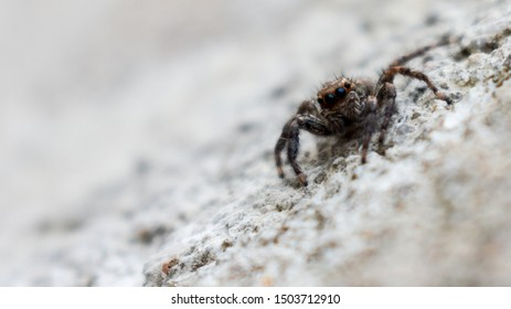 Jumping spider (Salticidae) with two black big eyes.