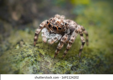 Jumping spider (Sitticus fasciger) on the surface of the mossy wall