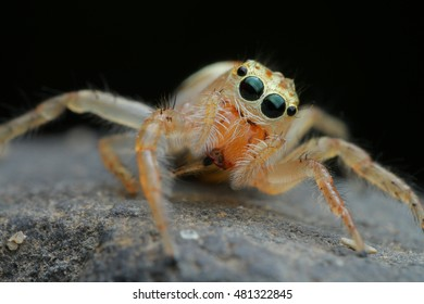 Jumping Spider in Southeast Asia.