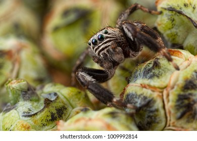 Jumping spider and thuja buds