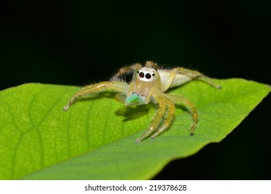 Jumping Spider with victims on green leaf