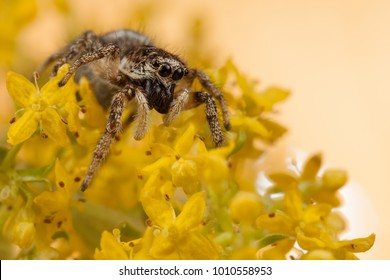 Jumping spider and yellow blossom