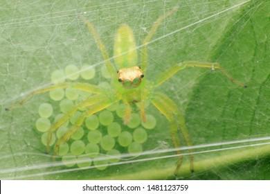 Jumping spider(Arthropoda: Arachnida: Araneae: Salticidae: Epeus alboguttatus). On leaf. In Wufeng,Hsinchu,Taiwan.