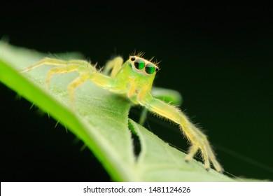 Jumping spider(Arthropoda: Arachnida: Araneae: Salticidae: Epeus alboguttatus). On leaf. In Guanxi,Hsinchu,Taiwan.