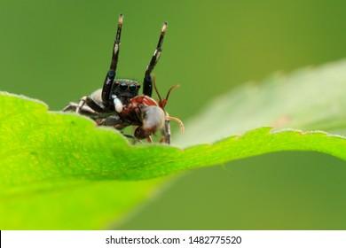 Jumping spider(Arthropoda: Arachnida: Araneae: Salticidae). On leaf,with it's prey. In Zhubei,Hsinchu,Taiwan.