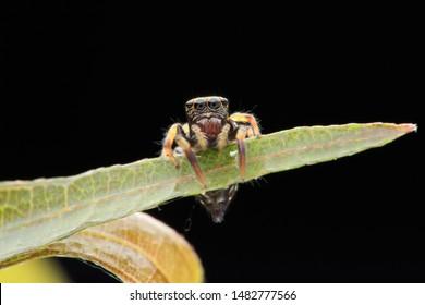 Jumping spider(Arthropoda: Arachnida: Araneae: Salticidae). On leaf. In Zhubei,Hsinchu,Taiwan.