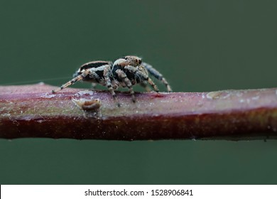 Jumping spiders are a group of spiders that constitute the family Salticidae