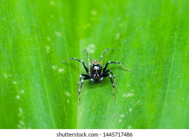 Jumping spiders salticidae are the largest group in the family of spiders / Male Jumping Spider / Tiny but agile, wonderful ambush predator, feeds mainly on insects