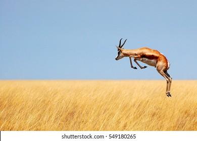 Jumping Springbok in Namibia