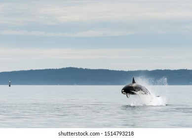Jumping Transient Orca, hunting porpoises, Johnstone Strait, North Vancouver Island, Canada